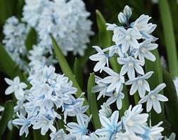 Puschkinia scilloides var. libanotica (Russian snowdrop bulbs)