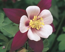 Aquilegia Louisiana (State Series) (columbine)