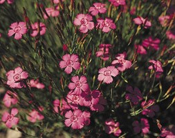 Dianthus deltoides 'Shrimp' (Maiden pink)