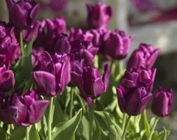 Tulipa 'Passionale' (triumph tulip bulbs)
