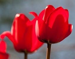 Tulipa 'Red Impression' (PBR) (Darwin tulip bulbs)