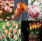 Rembrant Tulip collection
