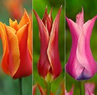 Vibrant lily flowered tulip collection
