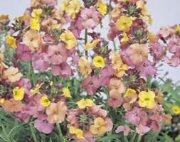 Erysimum 'Pastel Patchwork' (wallflower)
