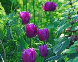 Tulipa 'Purple Flag' (triumph tulip bulbs)