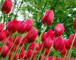 Tulipa 'Burgundy Lace' (fringed tulip bulbs)