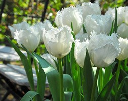 Tulipa 'Swan Wings' (fringed tulip bulbs)