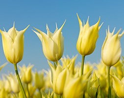 Tulipa 'Sapporo' (lily flowered tulip bulbs)