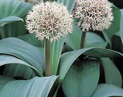 Allium karataviense (Turkestan onion bulbs)