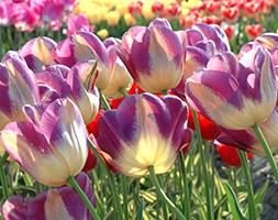 Tulipa 'Hot Pants' (bulb of the year 2013 - tulip bulbs)