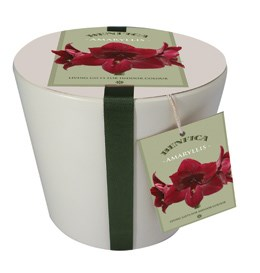 Ceramic pot & amaryllis 'Benfica' gift set (Hippeastrum 'Dancing Queen' gift set)
