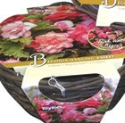 Pink begonias and hanging basket gift set