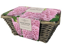 Indoor pink hyacinths and wicker basket gift set (gift set)
