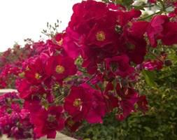 Rosa Flower Carpet Red Velvet ('Noare') (PBR) (ground cover rose)