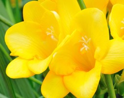 Freesia 'Yellow' (freesia bulbs)