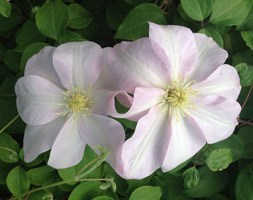 Clematis 'JeanneÂ's Pink' (clematis (group 2))