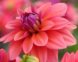 Dahlia 'American Dawn' (dahlia tuber)