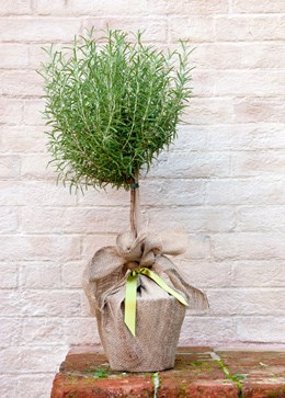 Rosmarinus officinalis 'mini stem standard' (rosemary mini standard)