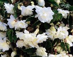 Begonia (Pendula Group) 'White Giant' (begonia tuber)
