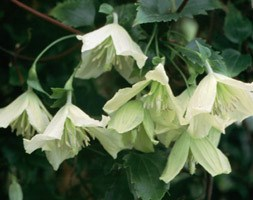 Clematis cirrhosa 'Ourika Valley' (clematis (group 1))