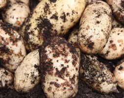potato 'International Kidney' (potato - early maincrop)