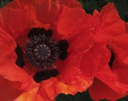 RHS Oriental Poppy Collection