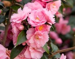 Camellia 'Spring Festival' (camellia)
