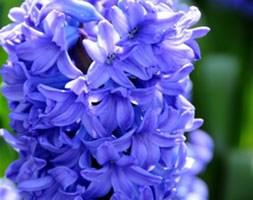 Hyacinthus orientalis 'Delft Blue' ('prepared' hyacinth)