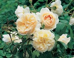 Rosa 'Lichfield Angel' (rose Lichfield Angel)