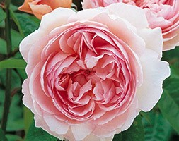 Rosa 'Gentle Hermione' (rose Gentle Hermione)