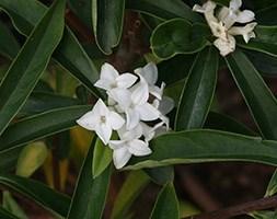 Daphne 'White Queen' (daphne)