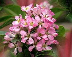 Escallonia 'Pink Elle' (PBR) (escallonia)