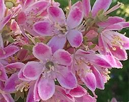 Deutzia x hybrida 'Strawberry Fields' (deutzia strawberry fields)