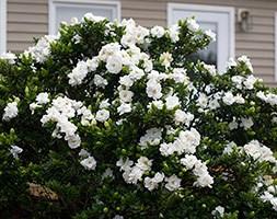 Gardenia jasminoides 'Crown Jewel' (gardenia)