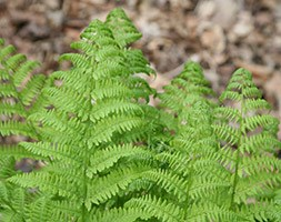 Dryopteris affinis 'Cristata' (golden male fern (syn. The King))