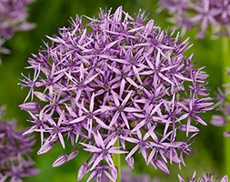 Allium stipitatum 'Violet Beauty' (ornamental onion)