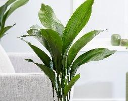 Aspidistra elatior (aspidistra / cast iron plant)