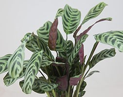 Ctenanthe burle-marxii 'Amabilis' (Never-never plant)
