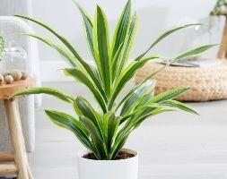 Dracaena 'Lemon Lime' (dragon plant)