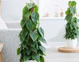 Philodendron scandens (heart-leaf)