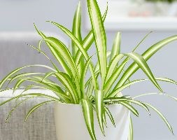 Chlorophytum comosum 'Variegatum' (spider plant)