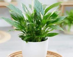 Spathiphyllum (spathiphyllum)