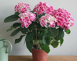 pink-white hydrangea (hydrangea with pink flowers)