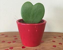 Hoya kerrii (Valentine sweetheart plant)