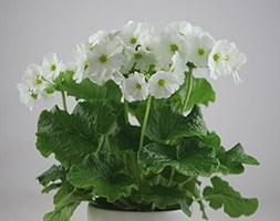 Primula obconica 'White' (primrose with a white ceramic pot)