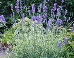Lavandula angustifolia Platinum Blonde ('Momparler') (PBR) (lavender)