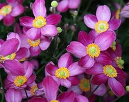 Anemone x hybrida 'Pretty Lady Susan' (Japanese anemone)