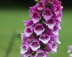 Digitalis purpurea 'Dalmatian Purple' (foxglove)