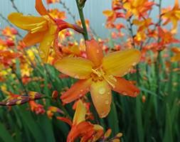 Crocosmia Orange Pekeo = 'Pek Or' (PBR) (montbretia)