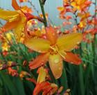 Crocosmia Orange Pekeo ('Pek Or') (PBR)
